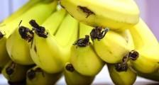 Muz İntoleransının Nedenleri ve Tedavisi